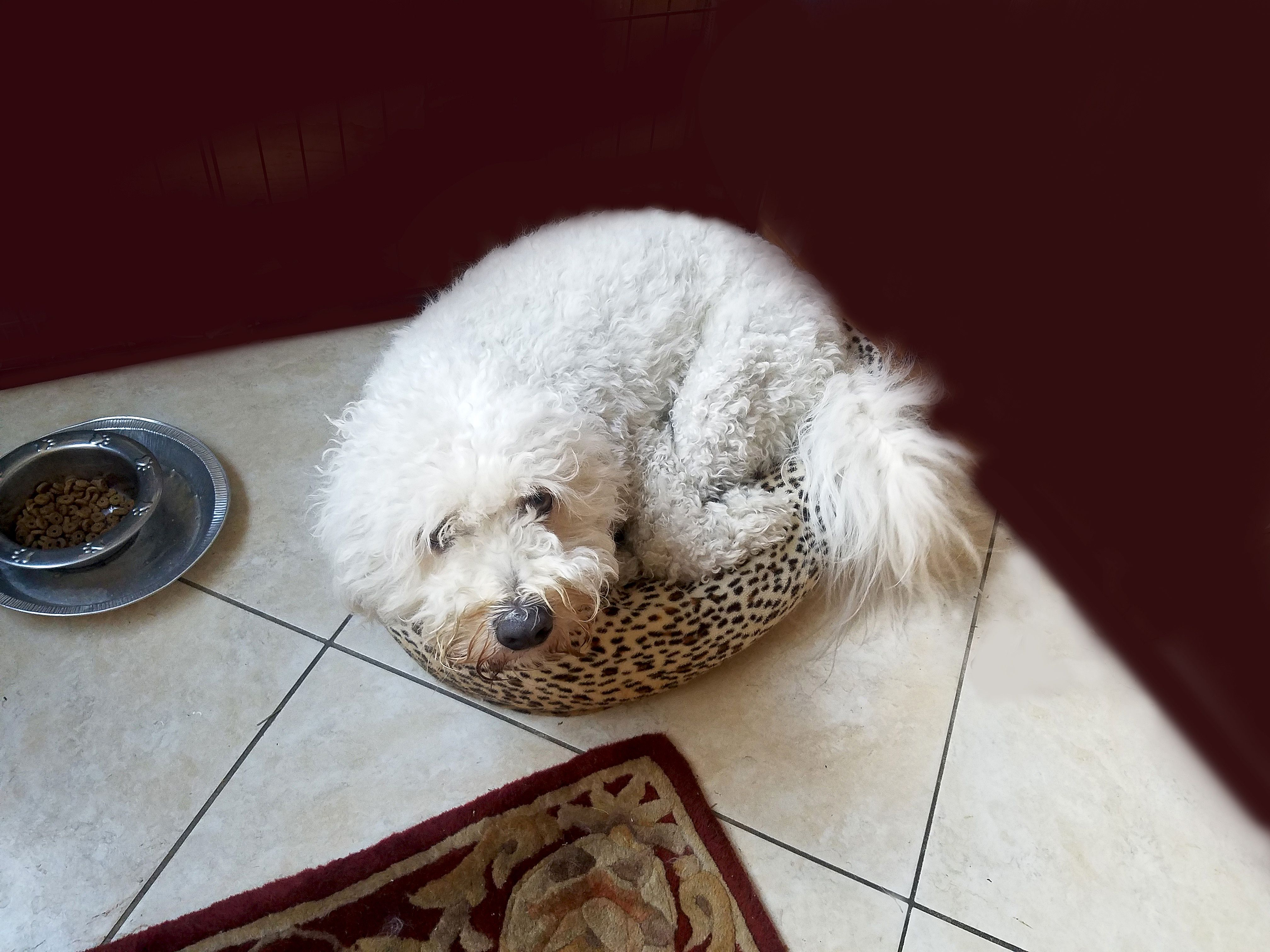 A big dog has squeezed himself into a tiny dog's bed.