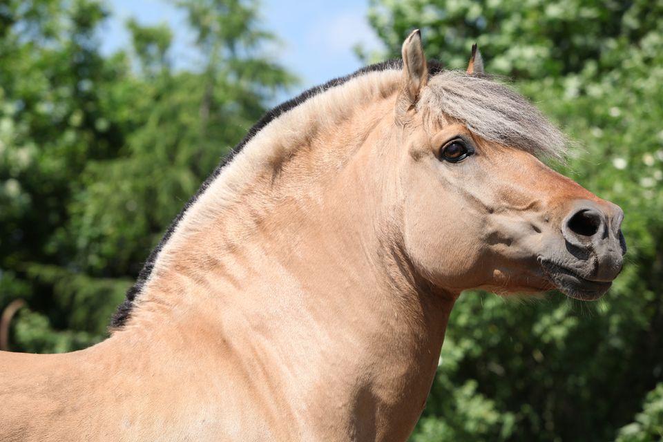 Perfil de cabeza de caballo fiordo contra un fondo de árbol