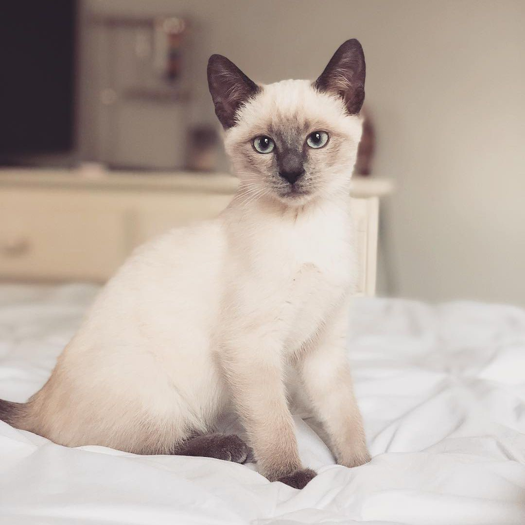 7 Fascinating Facts About Siamese Cats