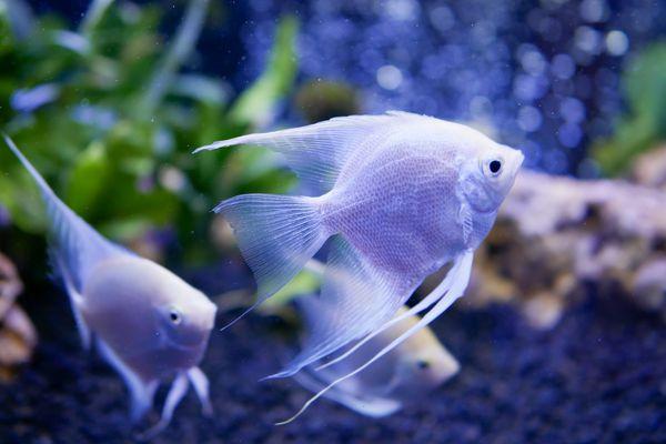 Pterophyllum Scalare aka Angelfish