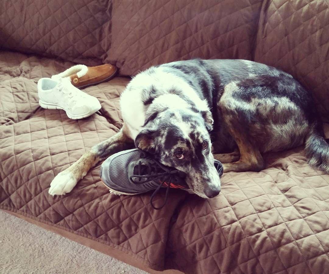Perro masticando el zapato