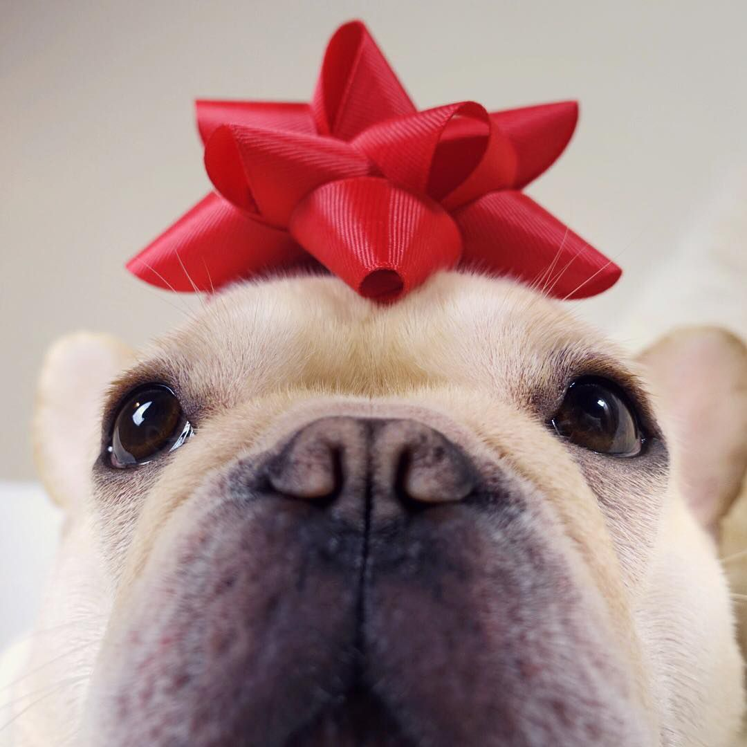An up-close photo of a light-colored Frenchie with a red bow on his head.