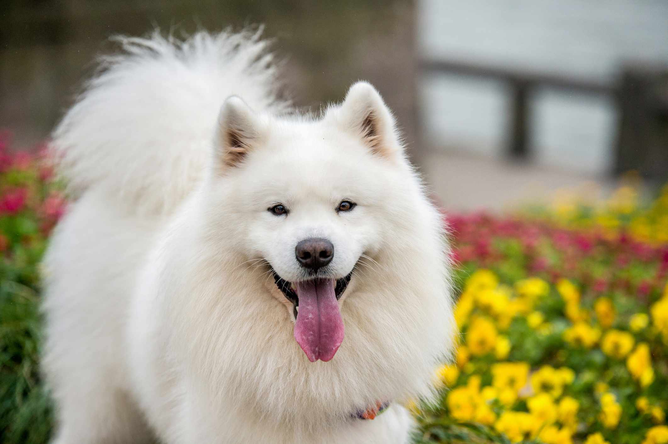 Samoyed dog portrait