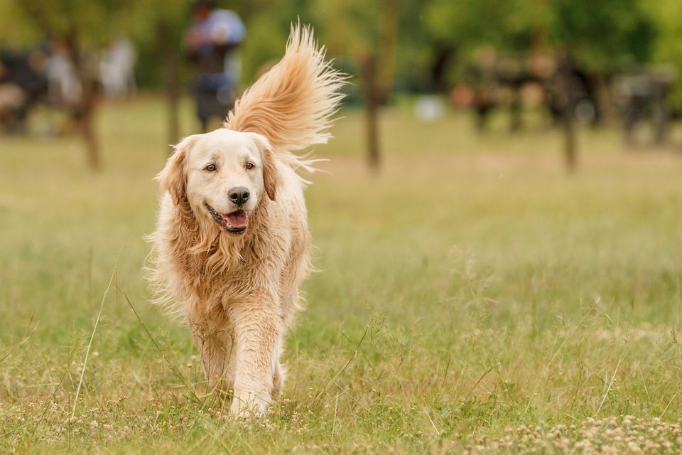 Golden retriever en pasto