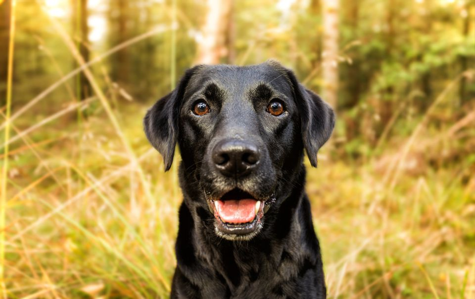 Black Labrador Retriever close up while sitting in a forest
