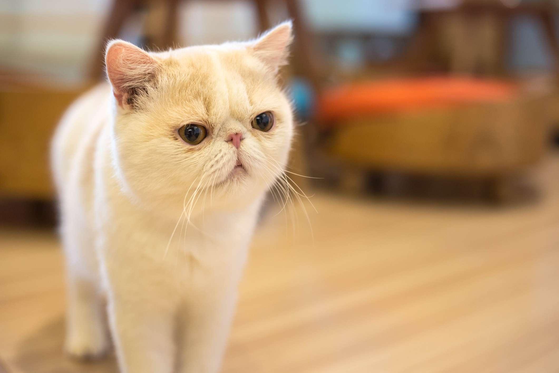 white exotic shorthair cat standing