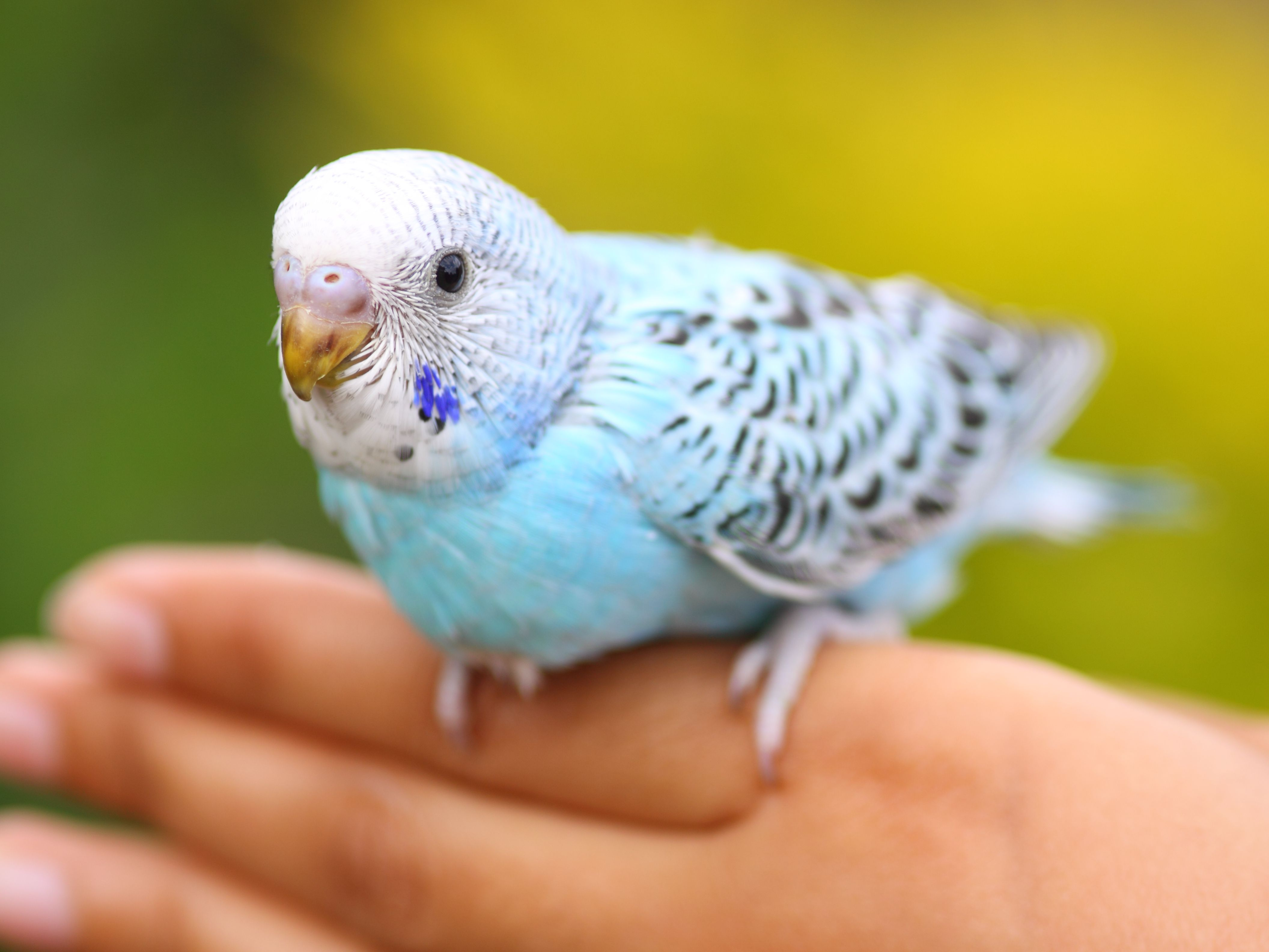 Training Your Pet Parrot - Step Up, Step Down