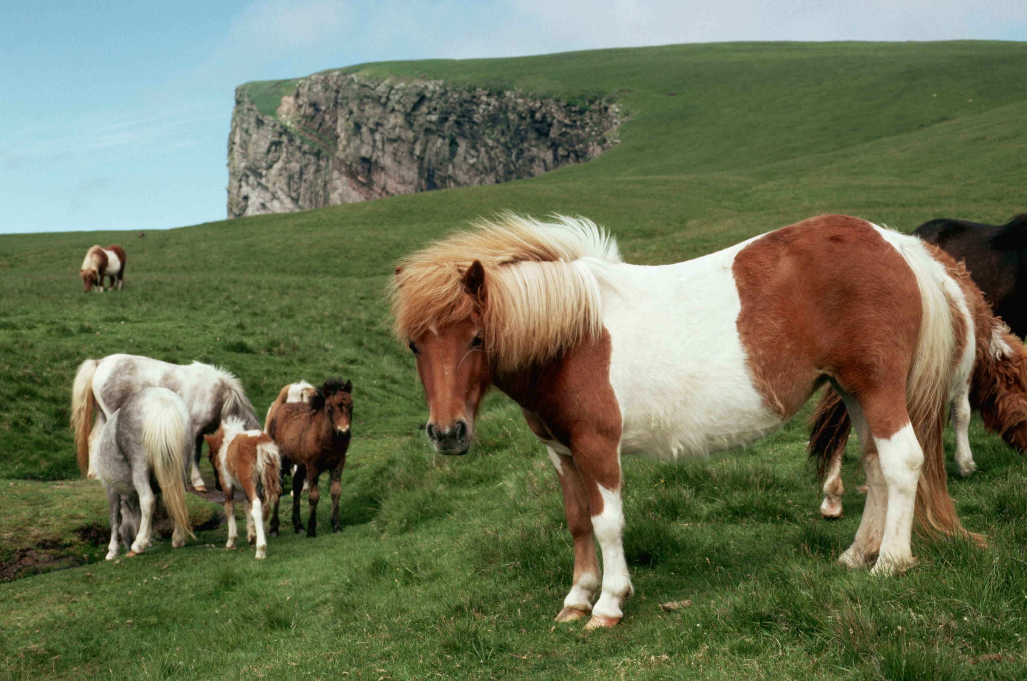 Brown-and-white wild Shetland ponies on a grassy hill