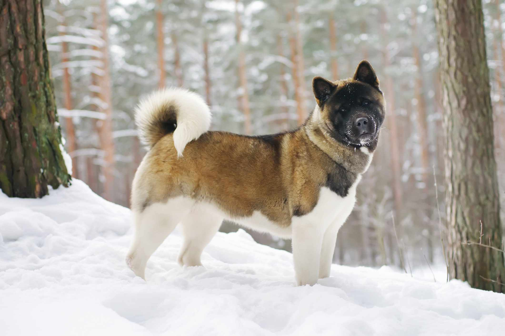 Japanese Akita standing in the snow