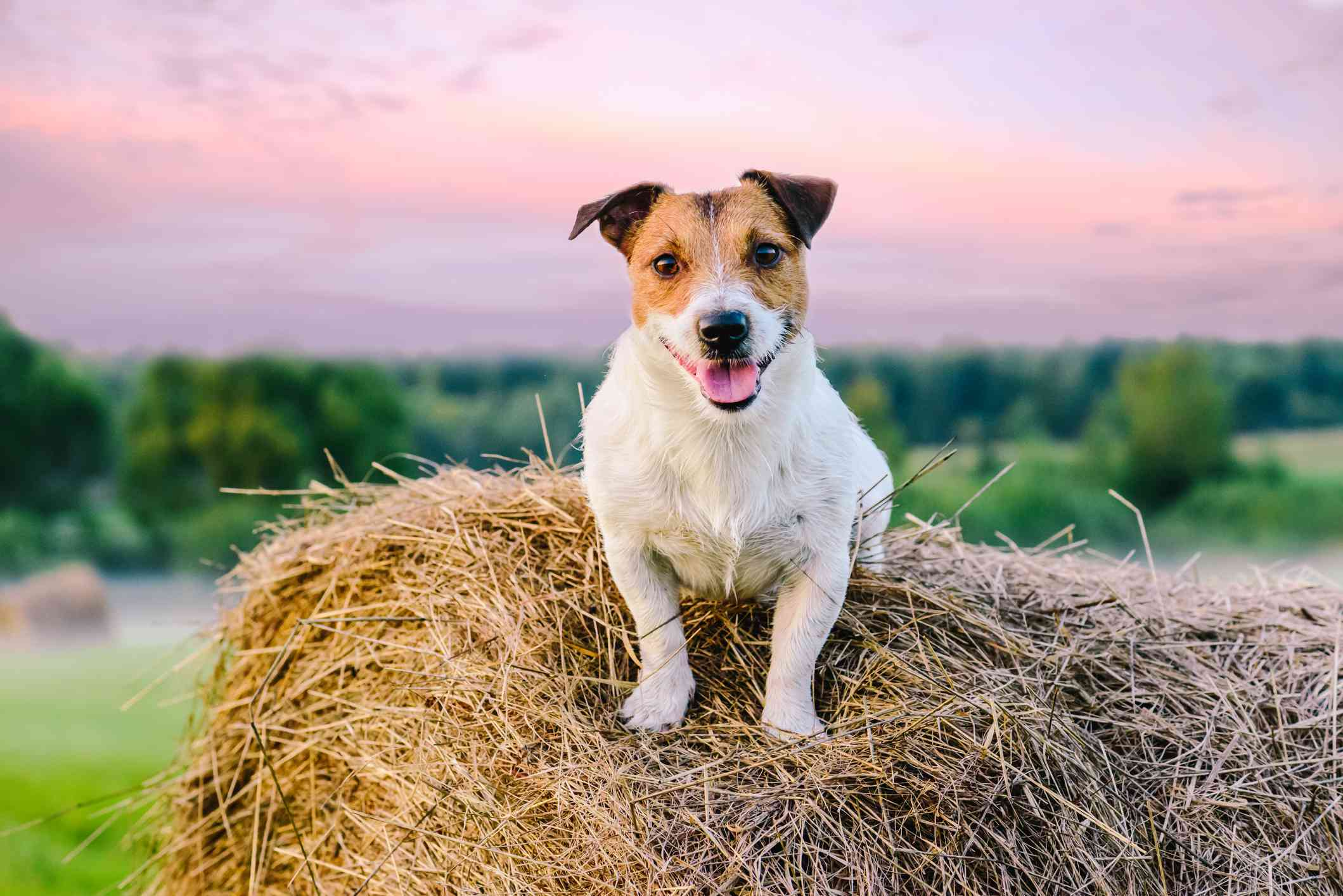 Jack Russell terrier on a hay bale