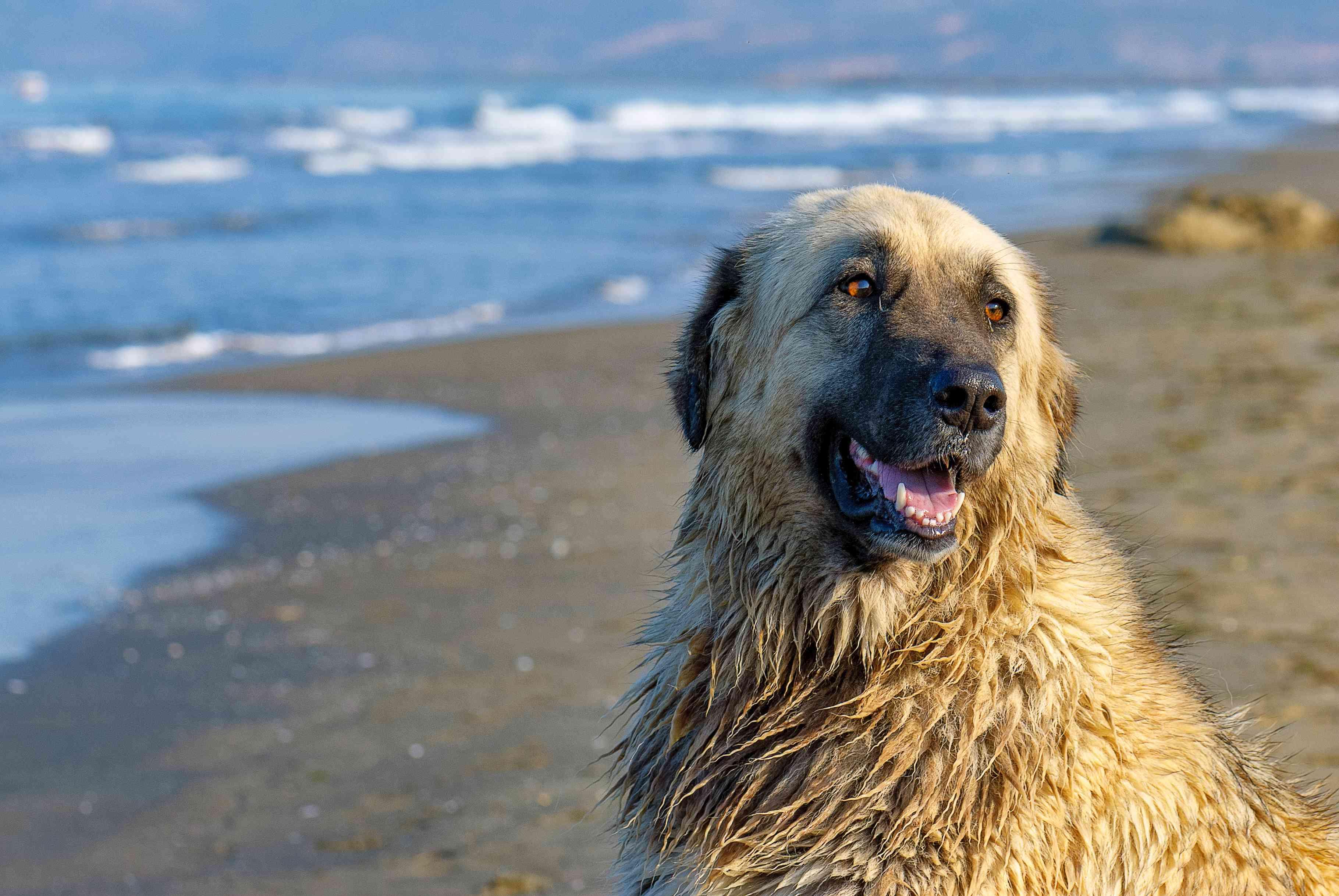 Estrela mountain dog sitting on a beach