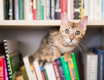Kitten looking out from bookshelf