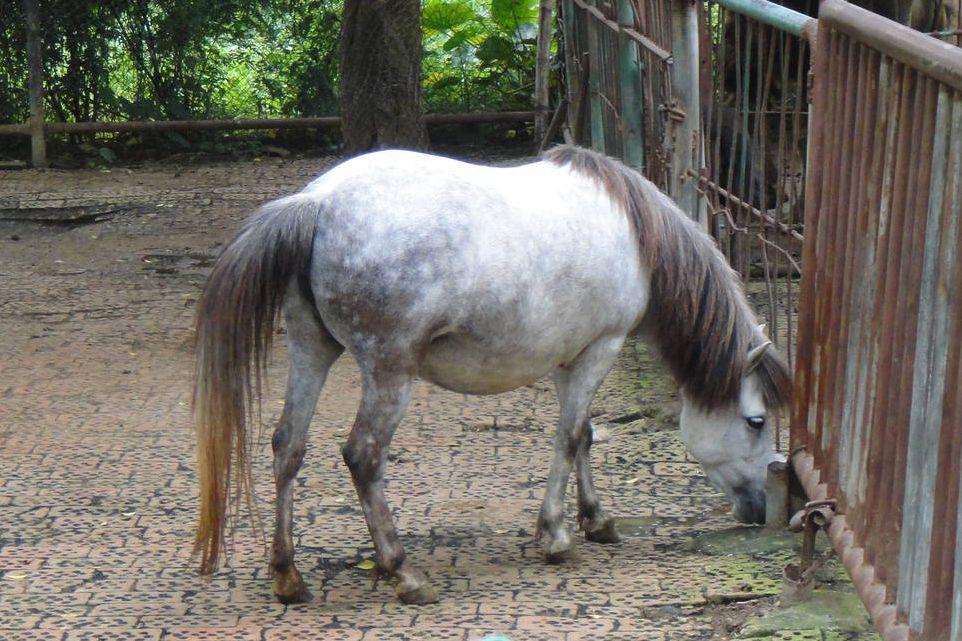 Guoxia pony