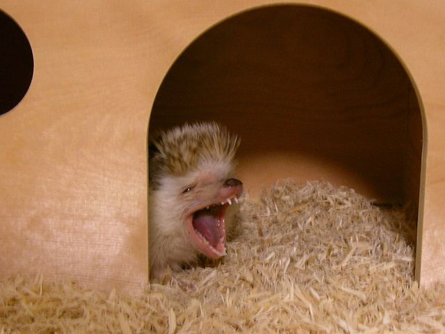 Hedgehog yawning in a wooden shelter