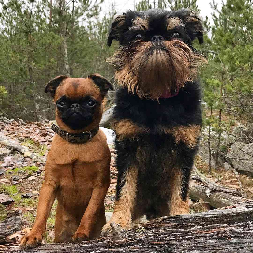Brussels griffon dogs