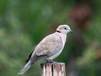 Victoria Crowned Pigeon Bird Species Profile