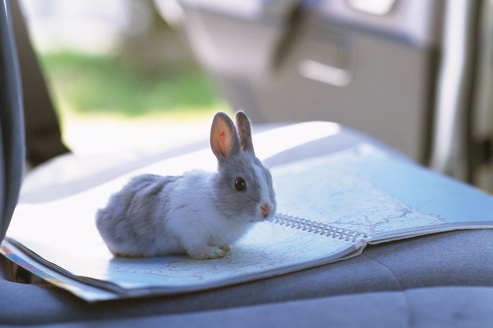 Rabbit in car