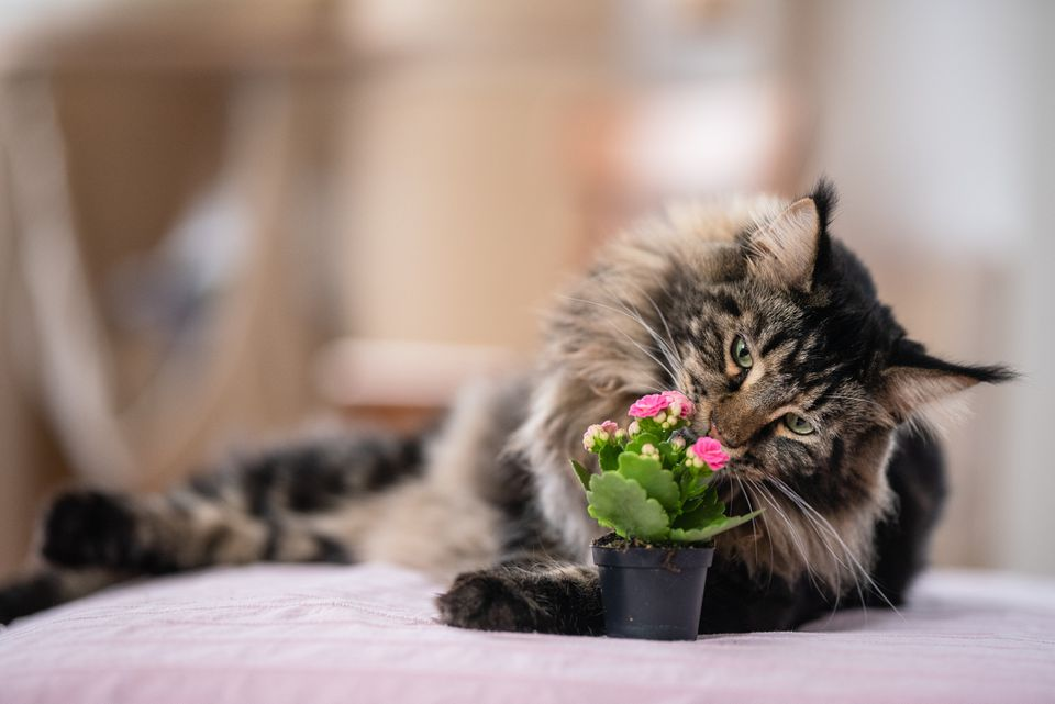 Maine Coon smelling a plant.