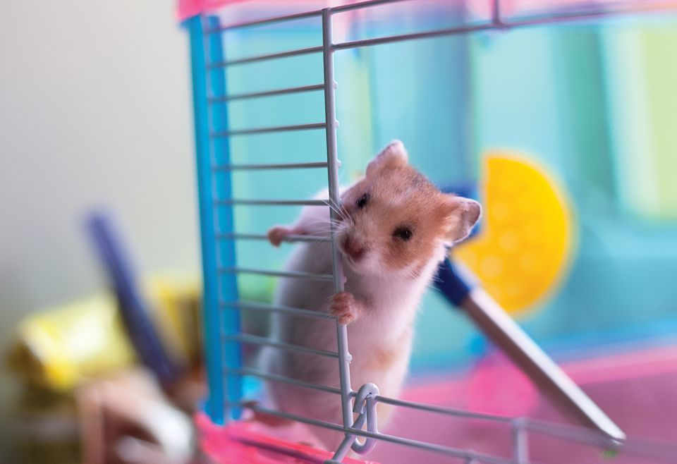 Pet mouse in cage