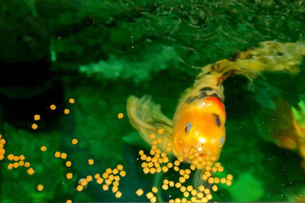 Fishes eating in aquarium