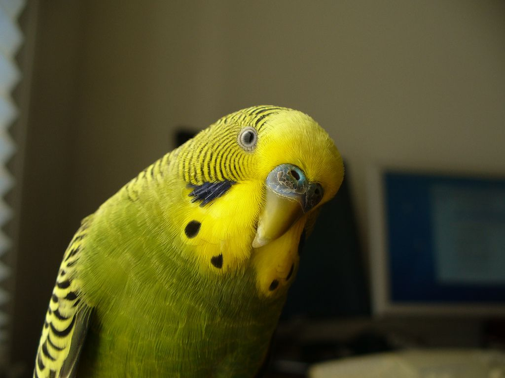 A close-up of a budgie.