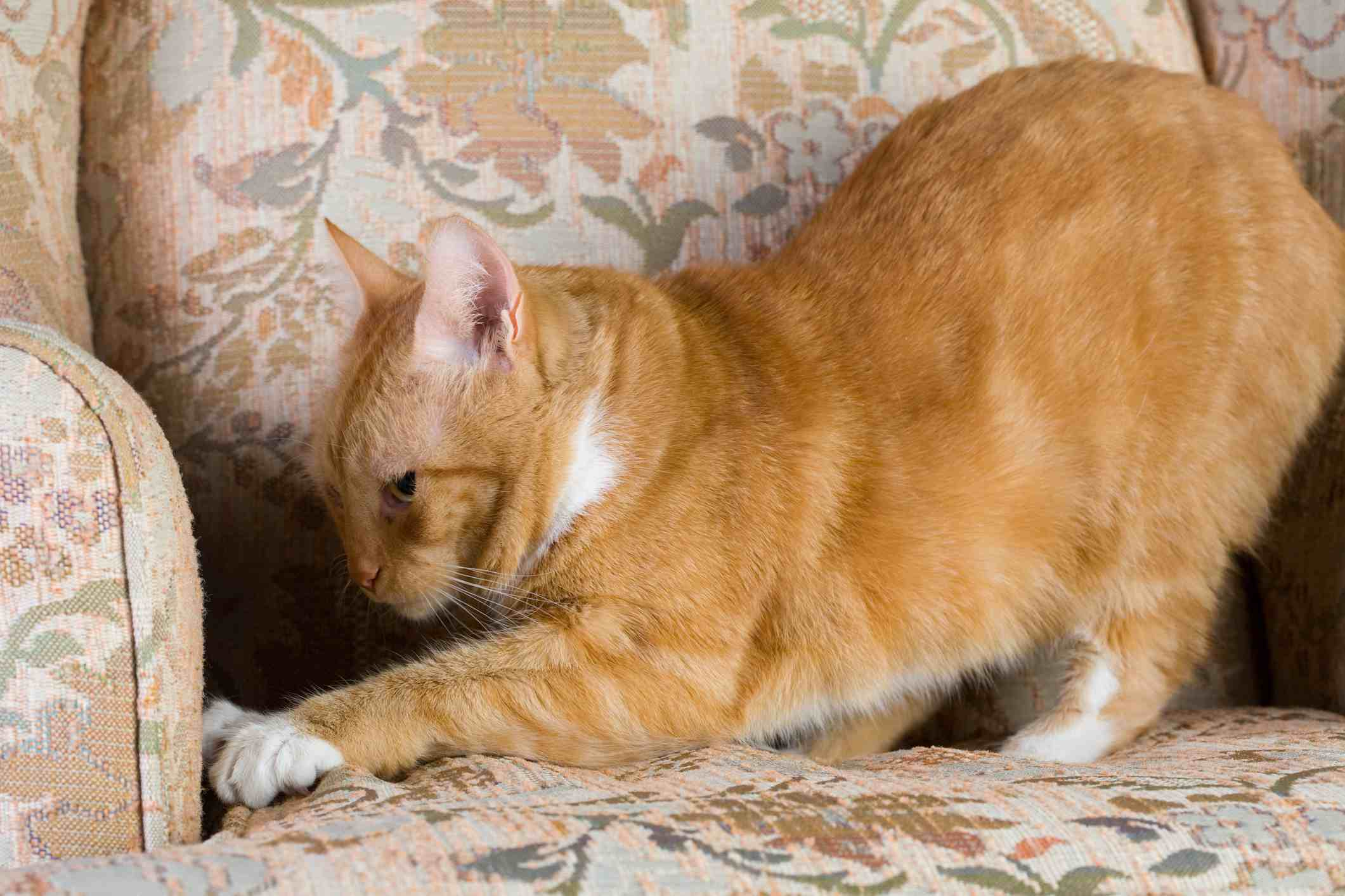 Tabby cat scratching an upholstered chair.