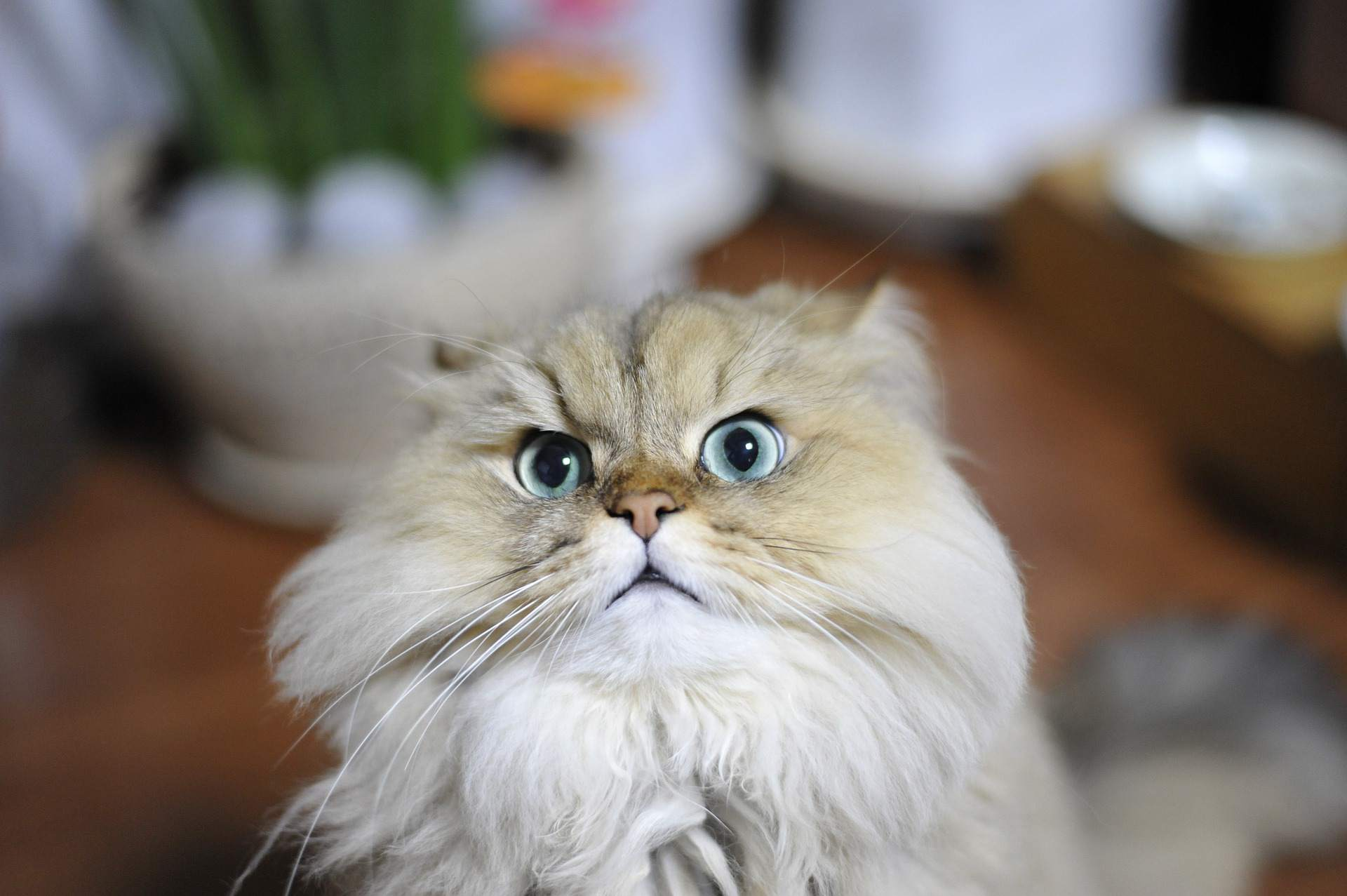 A Persian cat with a concerned look on its face.