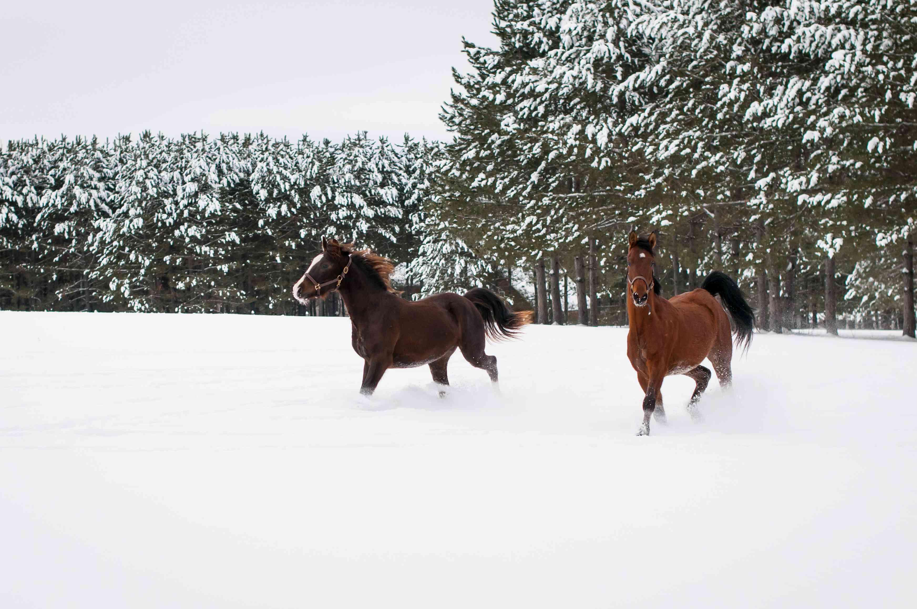 Winter Morgan Horses