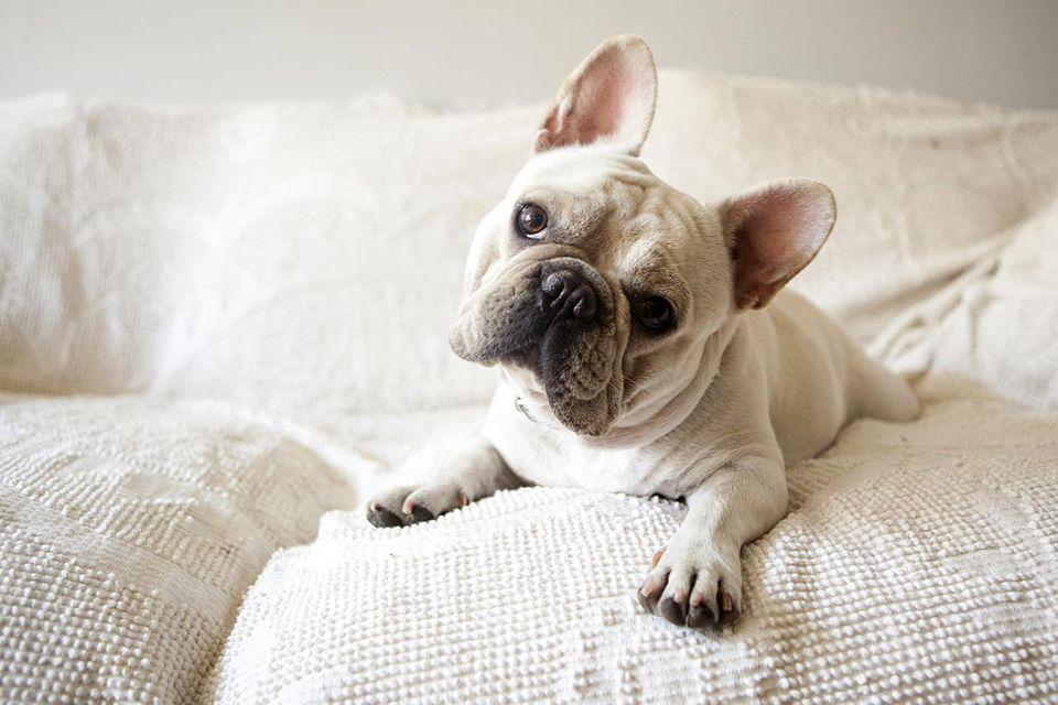 Usa, New York State, New York City, Portrait of French Bulldog lying down on sofa