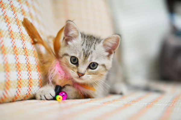 New Kitten with Toy