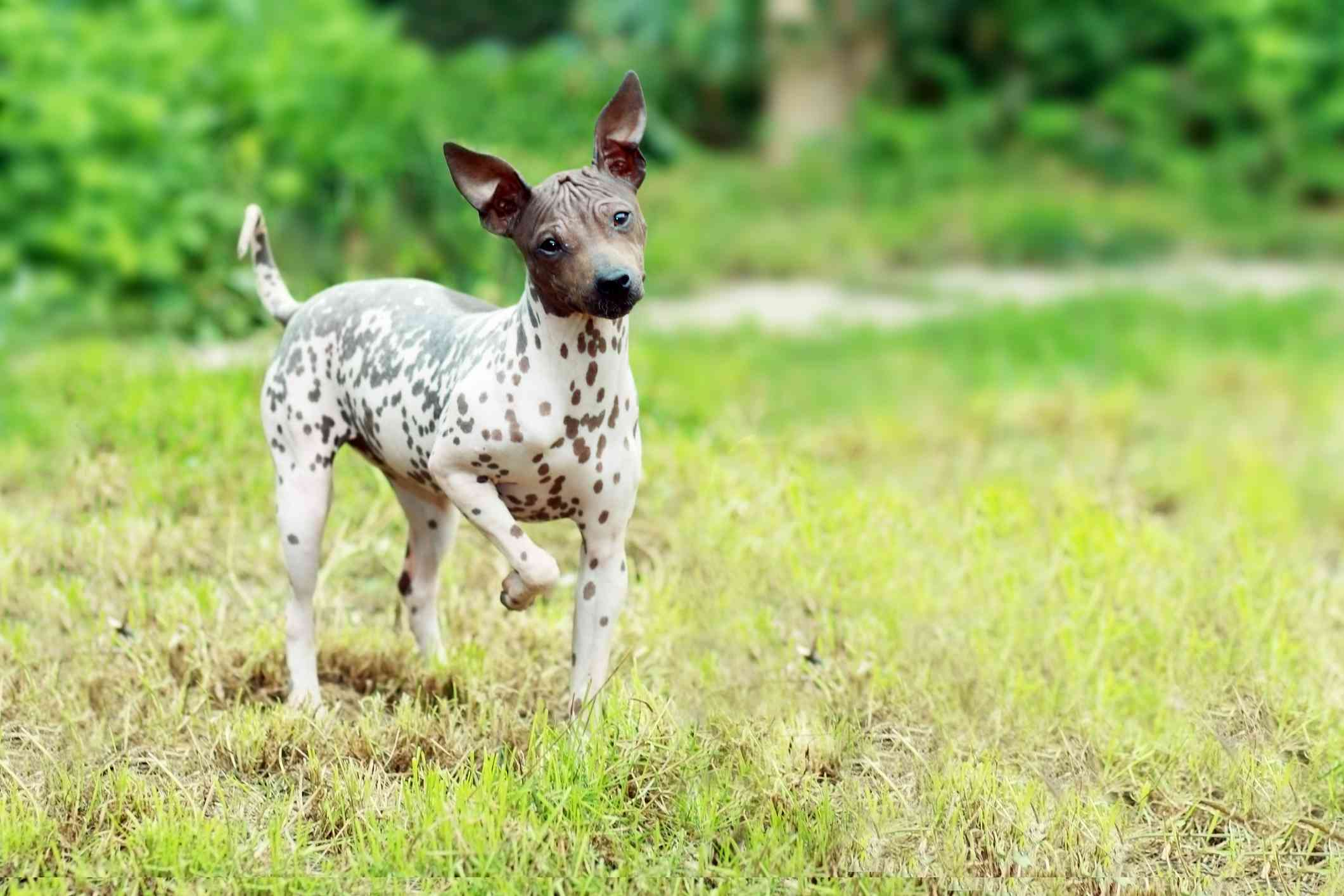 A hairless dog with a brown head and a brown and white spotted body prancing in the grass.