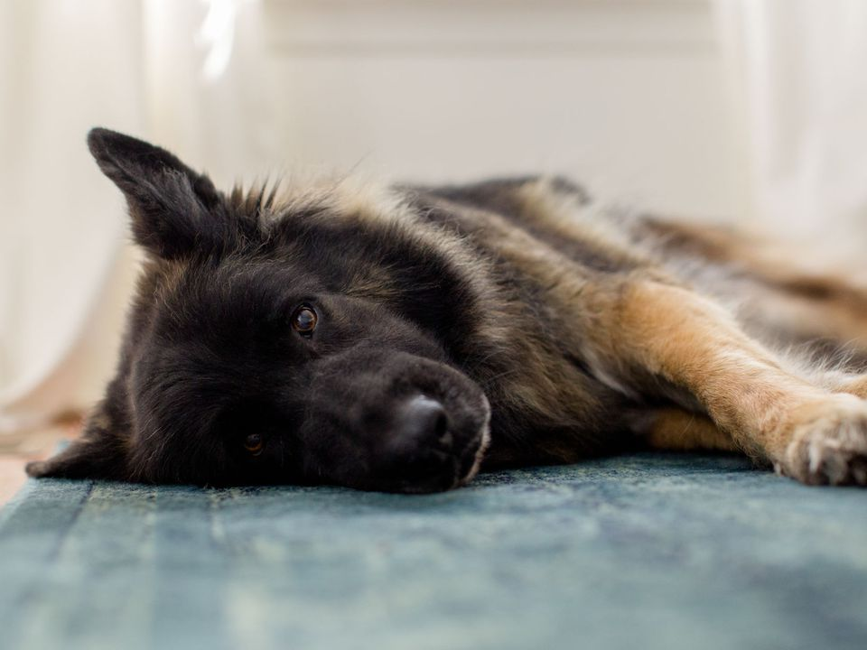 German shepherd not feeling well