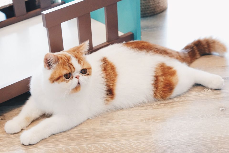 Persian cat laying down