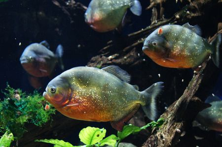 Piranha Fish Breed Profile