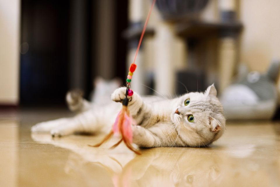 gray-white tabby cat plays with a cat feather toy