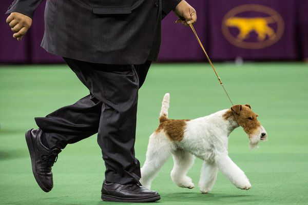 A dog with a docked tail at a show