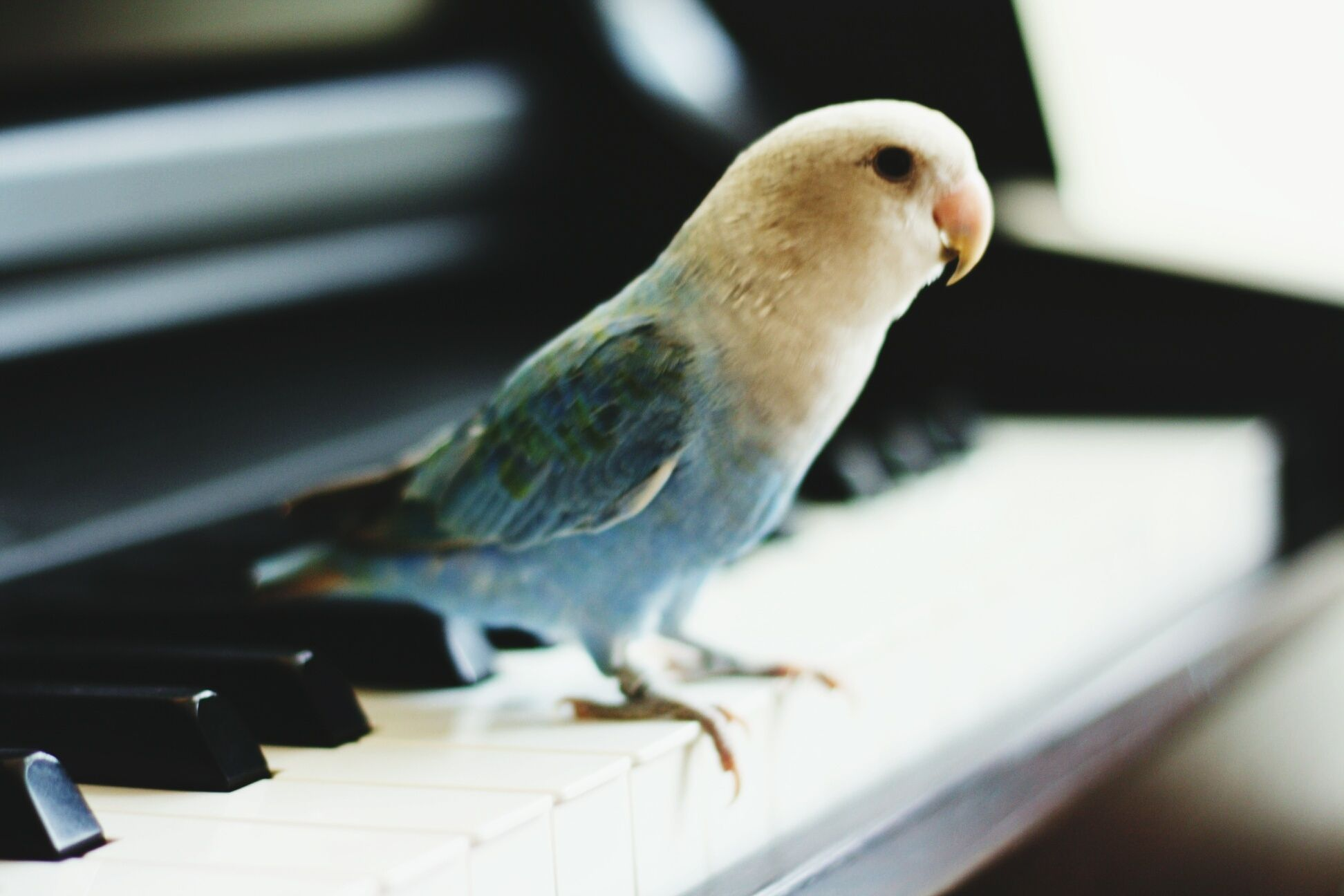 Close-up of parrot perching on piano