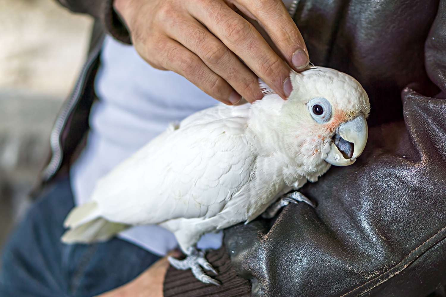 Tame cockatoo on a man with leather jacket