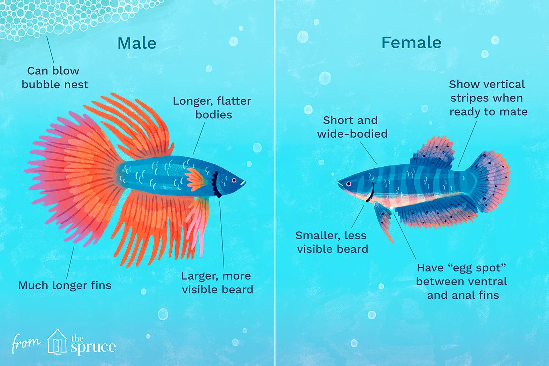 determinar el género de la ilustración de los peces beta