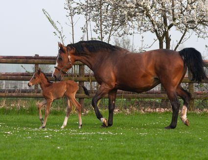 Westphalian mare and foal in a pasture.
