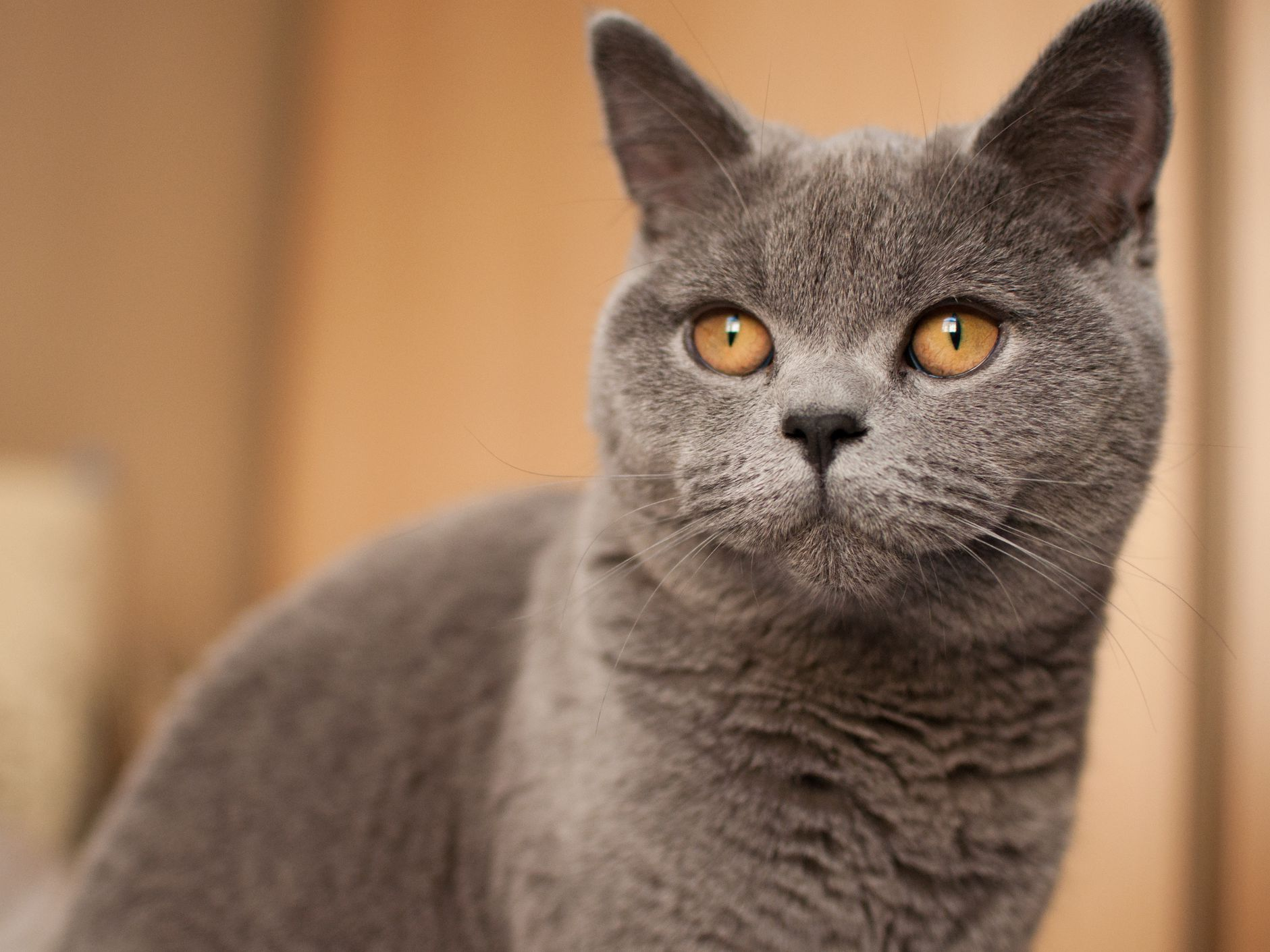 British Shorthair — Full Profile, History, and Care