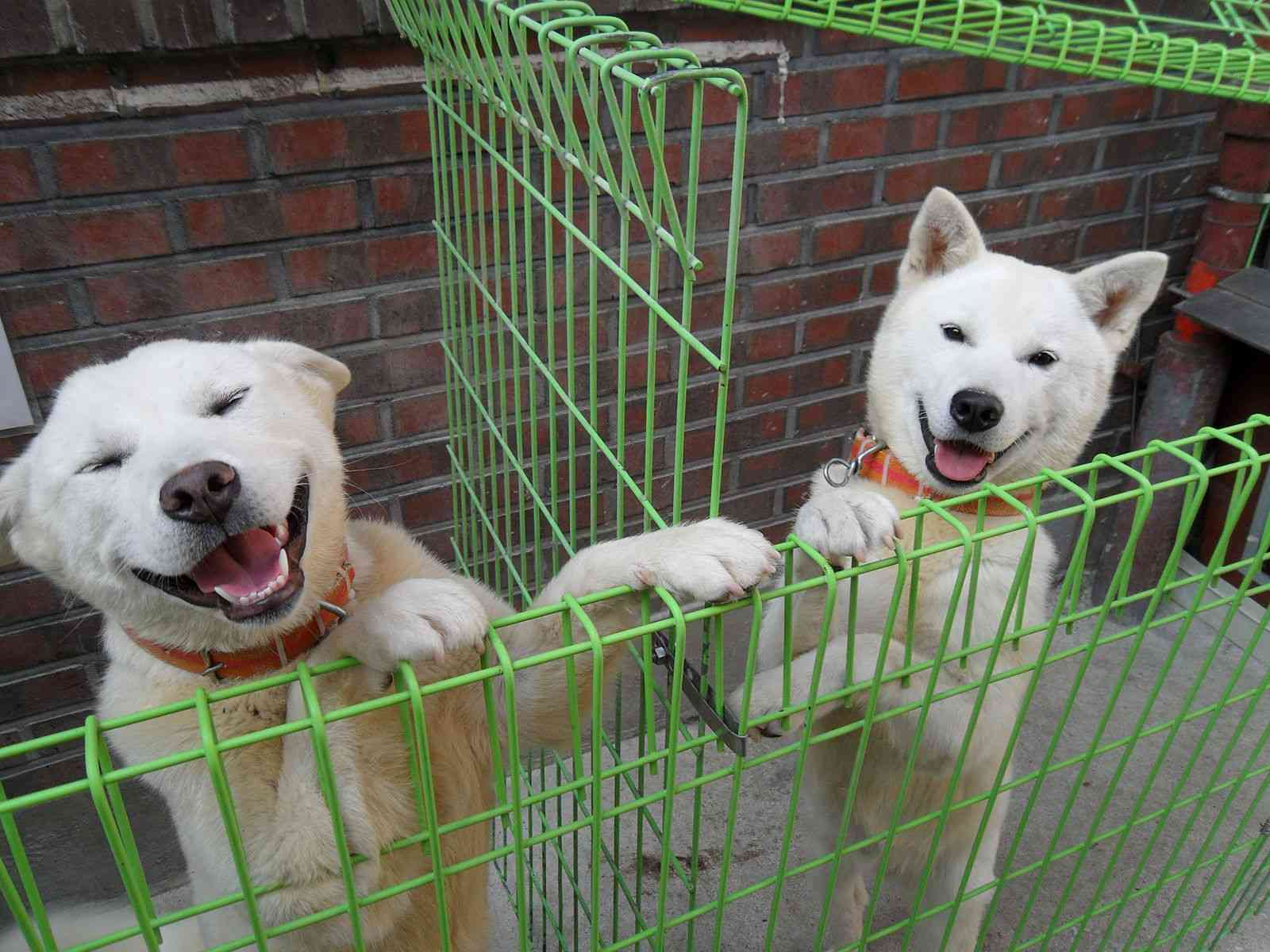 Two pungsan dogs outside