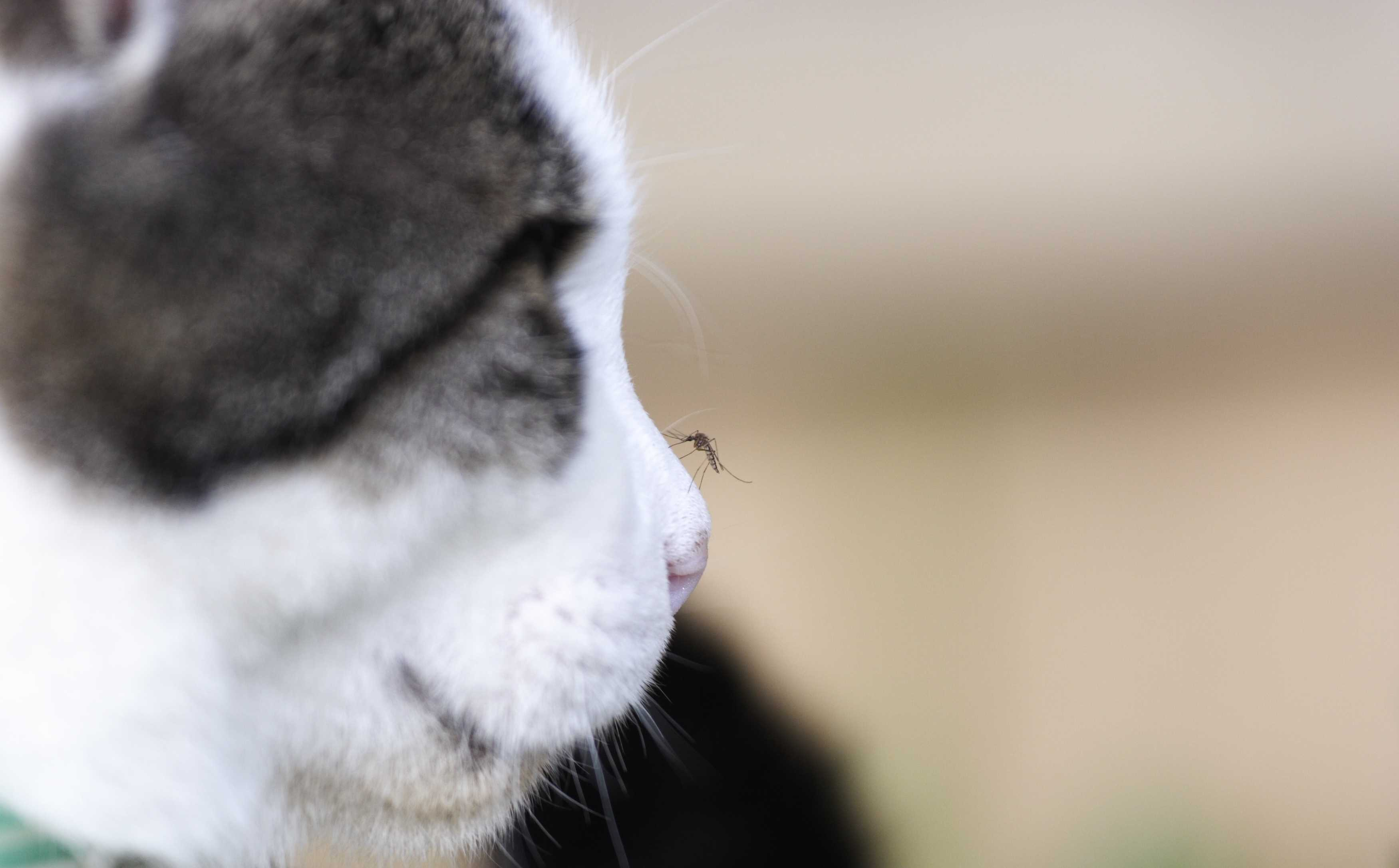 Mosquito on cat's nose