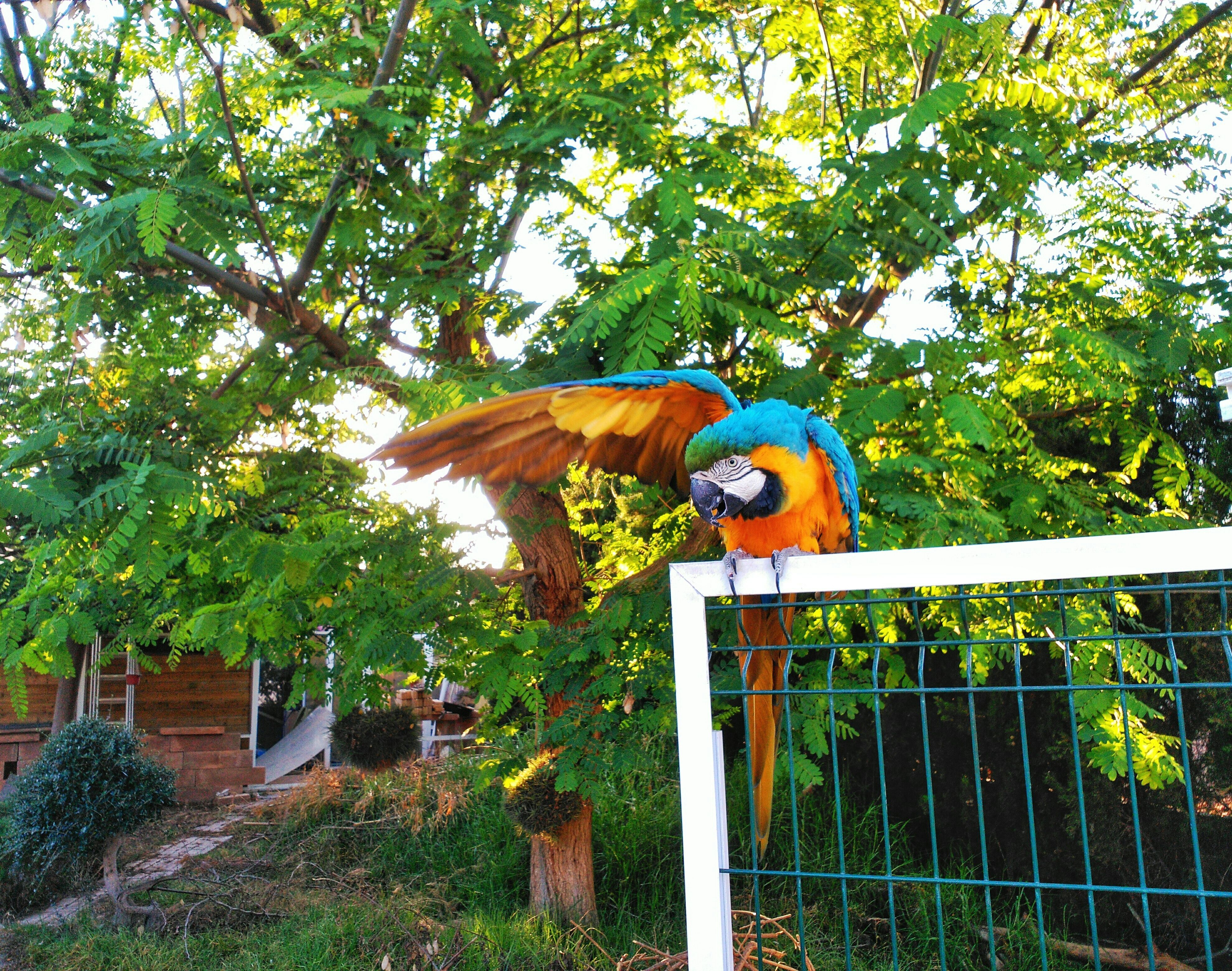 Gold and blue macaw perched on fence