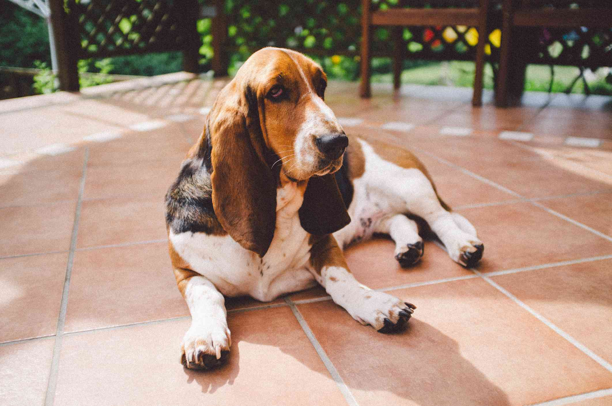 A Basset hound with big ears laying on the patio.