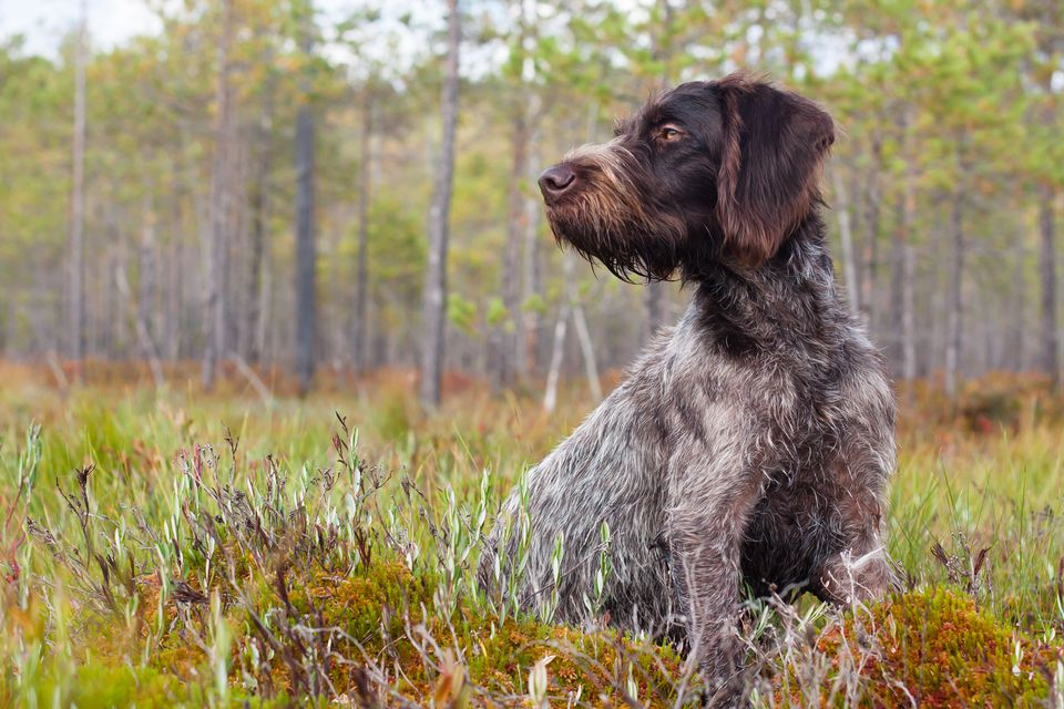 German Wirehaired Pointer in a forest