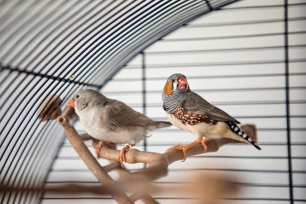 Australian Finch (Taeniopygia guttata)