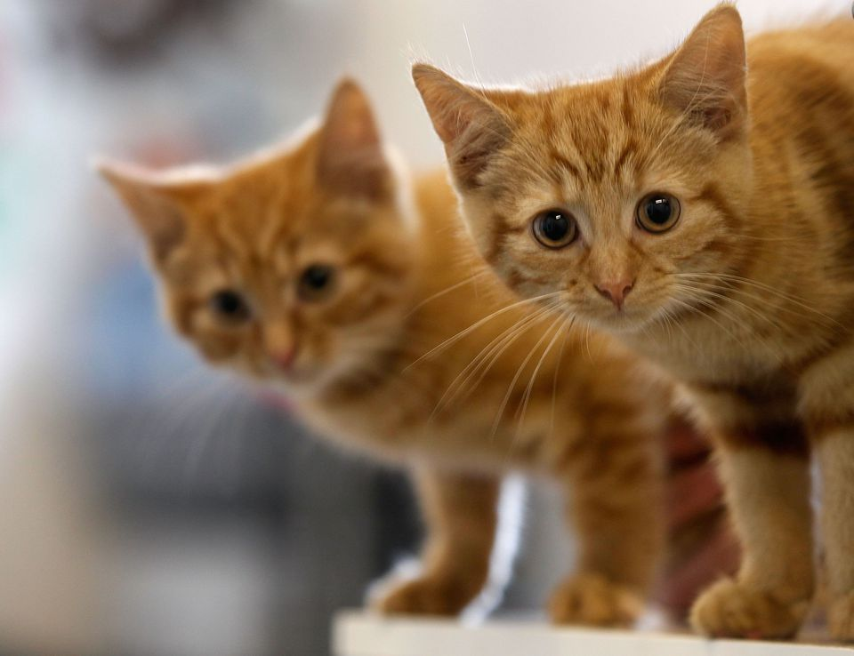 Two 13-week-old kittens