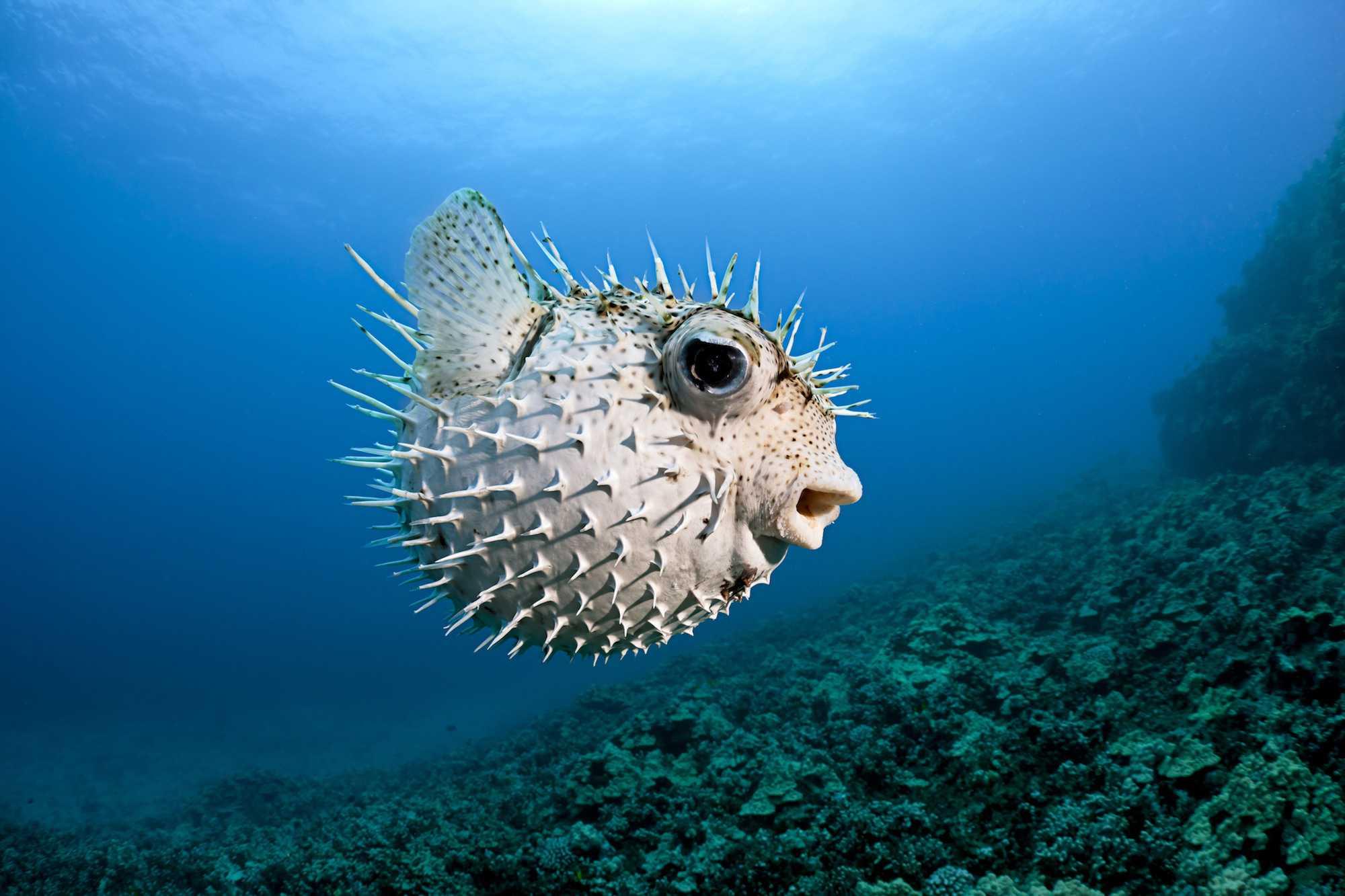 Un pez puercoespín manchado