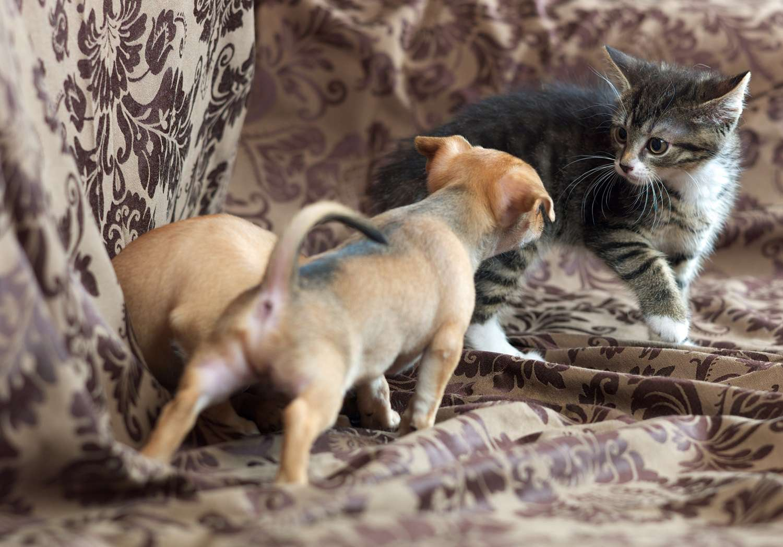 Cachorros con gatito